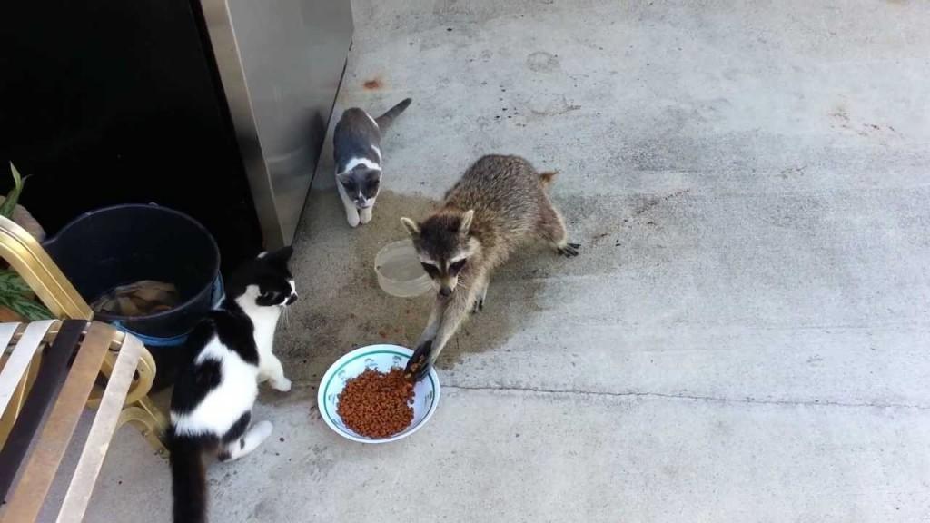 Raccoon Steals Cats Food