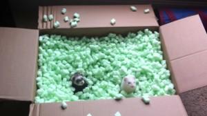 ferrets packing peanuts