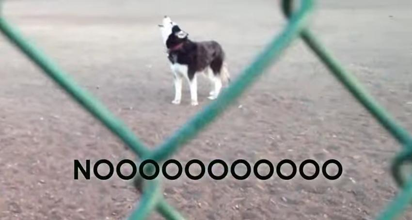 stubborn husky