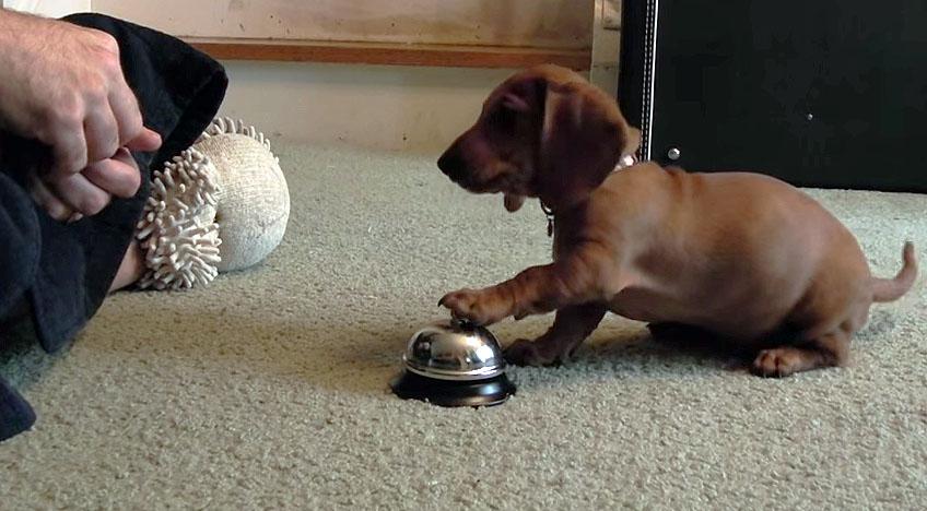 dachshund bell