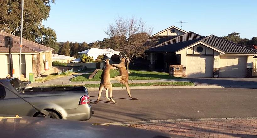kangaroo brawl