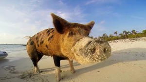 Pig Beach, An Island Ran By Swimming Pigs In The Bahamas