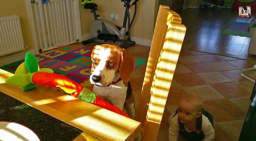 beagle trade