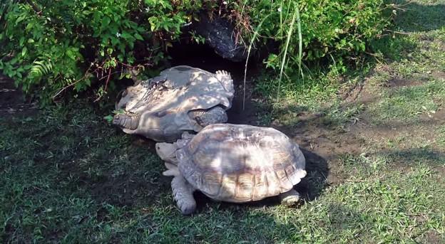 toppled tortoise rescue