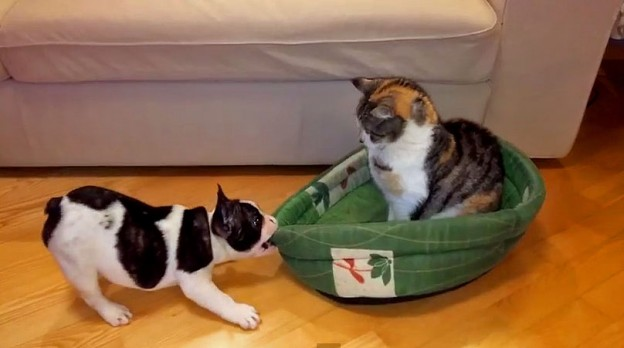 frenchie-vs-cat