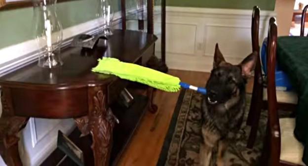 cleaning german shepherd