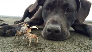 dog digs crab
