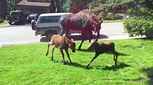 moose family sprinkler