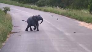 baby elephant chases birds