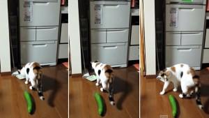 cucumber cat